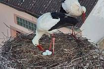 Čápi pečují na hnízdě v Dubném už o tři vajíčka.