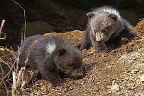 Jistota v parku: dvě medvíďata nepřežila.