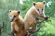 Pokud nevíte, co s rodinou podniknout v sobotu, můžete vzít děti do zoo.  Čeká je tu bohatý velikonoční program a pochopitelně i  zajímaví obyvatelé klecí a výběhů, jako například nosálové.