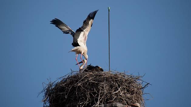 Na hnízdě ve Vodňanech už čáp dovádí s novou partnerkou. Čapí sezona je zřejmě zachráněna.
