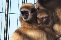 Gibon lar, samice s mláďaty (2019 a 2020). Ohrožený asijský primát.
