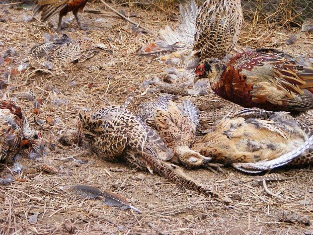 V šoku se ocitli hosínští myslivci, když přišli po řádění neznámého pachatele do své bažantnice. Ve velké voliéře leželo 118 pobitých kuřat, živí ptáci chodili mezi uhynulými kusy.
