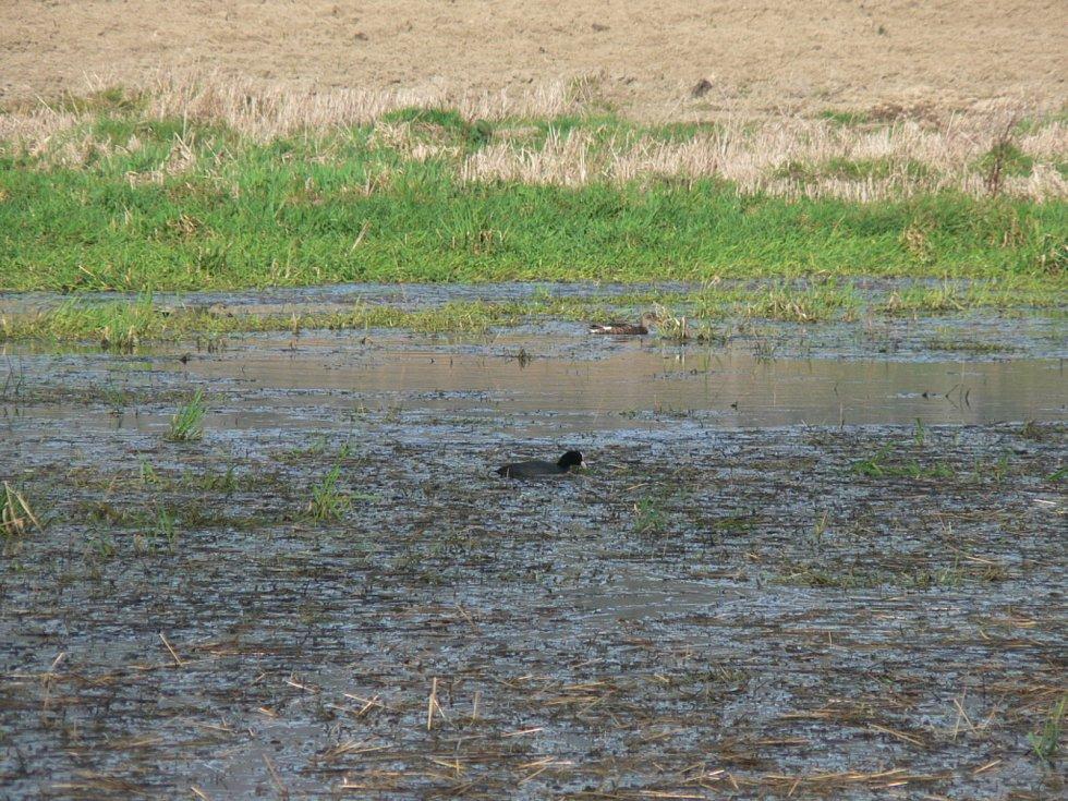 Práce na polích letos více než v jiných letech komplikují deště. Místy se vytvořily i malé rybníčky, které hbitě obsadilo vodní ptactvo. Na snímku pole u Holašovic.