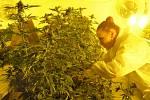 Rostliny v pěstírně pochází z certifikovaných italských semen, obsah THC v sušině nesmí podle české legislativy překročit 0,3 procenta.