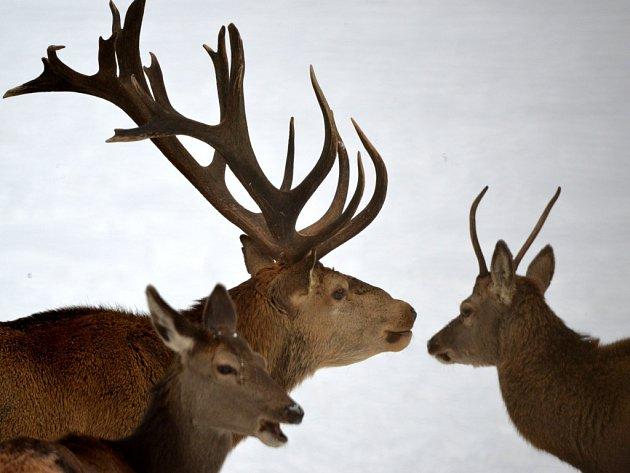 Jako na safari si musejí připadat návštěvníci pozorovacích míst v přezimovacích obůrkách v šumavském Srní. V oboře se pohybuje kolem 150 kusů jelení zvěře.