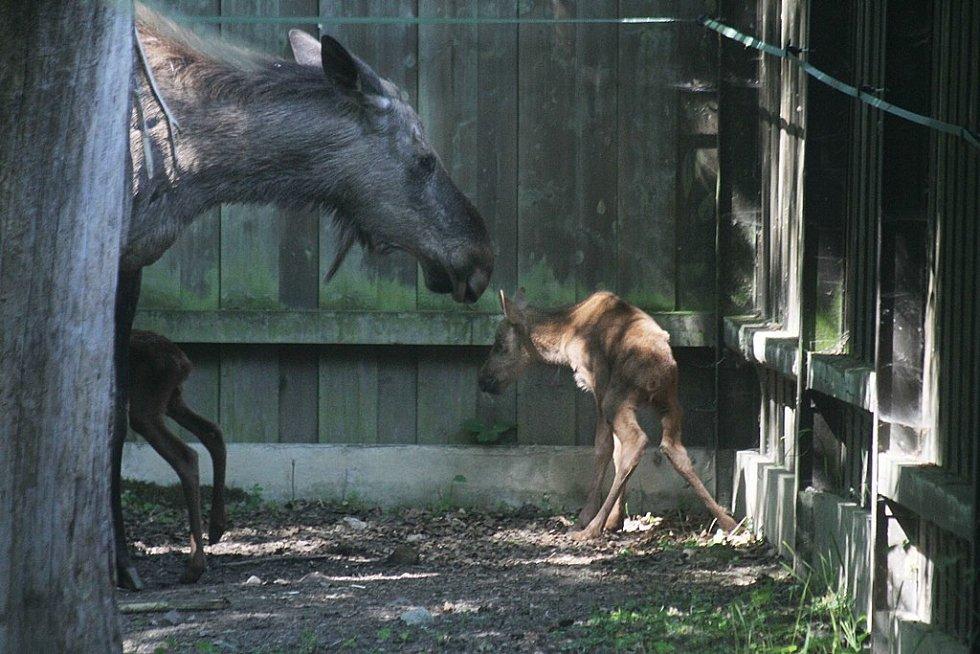 Madita, samice losa evropského, přivedla v hlubocké zoo na svět dvě mláďata. Zatím se o ně příkladně stará.
