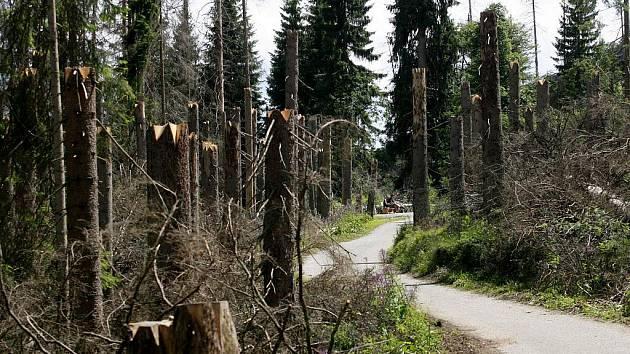 Suché stromy v okolí Pramenů Vltavy nechalo vedení parku pokácet stojící čtyři metry nad zemí, aby nebyl ohrožen turista.