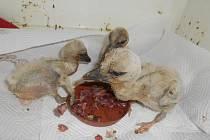 Čapí sourozenci se mají v péči záchranné stanice čile k světu. Ke třem holátkům v pátek přibyl sourozenec, další se z posledního vajíčka právě klube ven.
