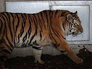 Zoo Ohrada získala samičku tygra ussurijského. K vidění ve výběhu bude v lednu 2015.