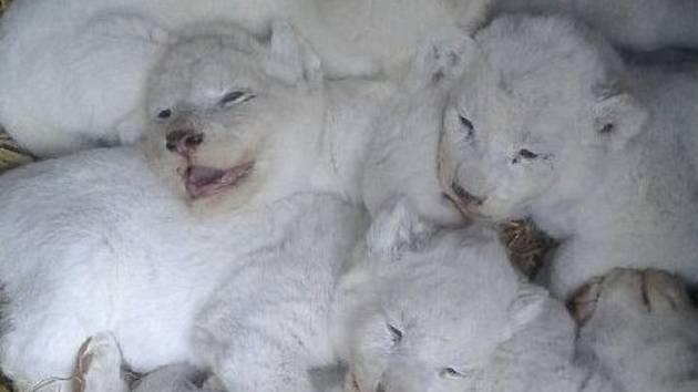 Chovatelé ve dvorecké zoo se mohou pochlubit unikátní odchovem bílých lvů.