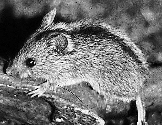 To je ona, myšovka!