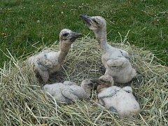 Zachráněná ptáčata rostla v záchranné stanici hlubocké zoo jako z vody.