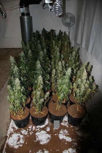 Přes 200rostlin nezvykle silné marihuany zajistili kriminalisté na Hlubocku. Pěstitel měl prvotřídní vybavení a bylo to znát.