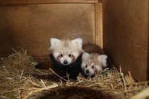 Sousedé se chlubí pandičkami.