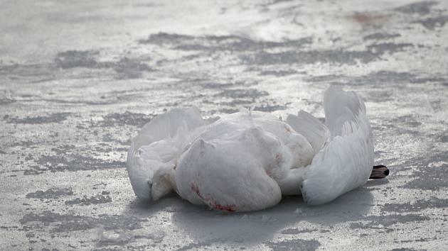 Ze smrti labutě čtenář podezírá psy. Na Vrbenských rybnících mají být na vodítku. Často však nejsou.