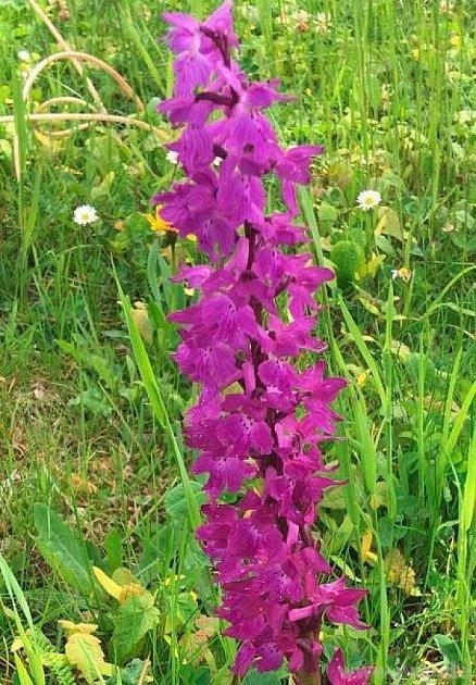Orchidej od sousedů.