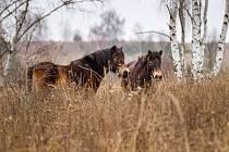 Divocí koně v české krajině.