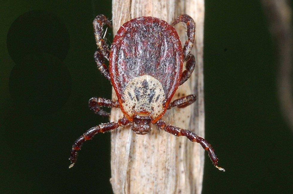 Od klíštěte obecného se piják liší pestrým štítkem, který má obvykle hnědočervenou barvu s bílou kresbou. U samců kryje štítek celé tělo, u samic jen přední část. Piják je větší než klíště, nasátá samička pak může mít až jeden centimetr.