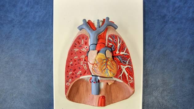 Plíce, ilustrační foto
