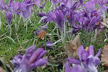 Také květy krokusů nově zdobí zahradu českobudějovického centra Bazalka.