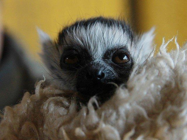 Přírůstky v Zoo Ohrada. Lemur kata.