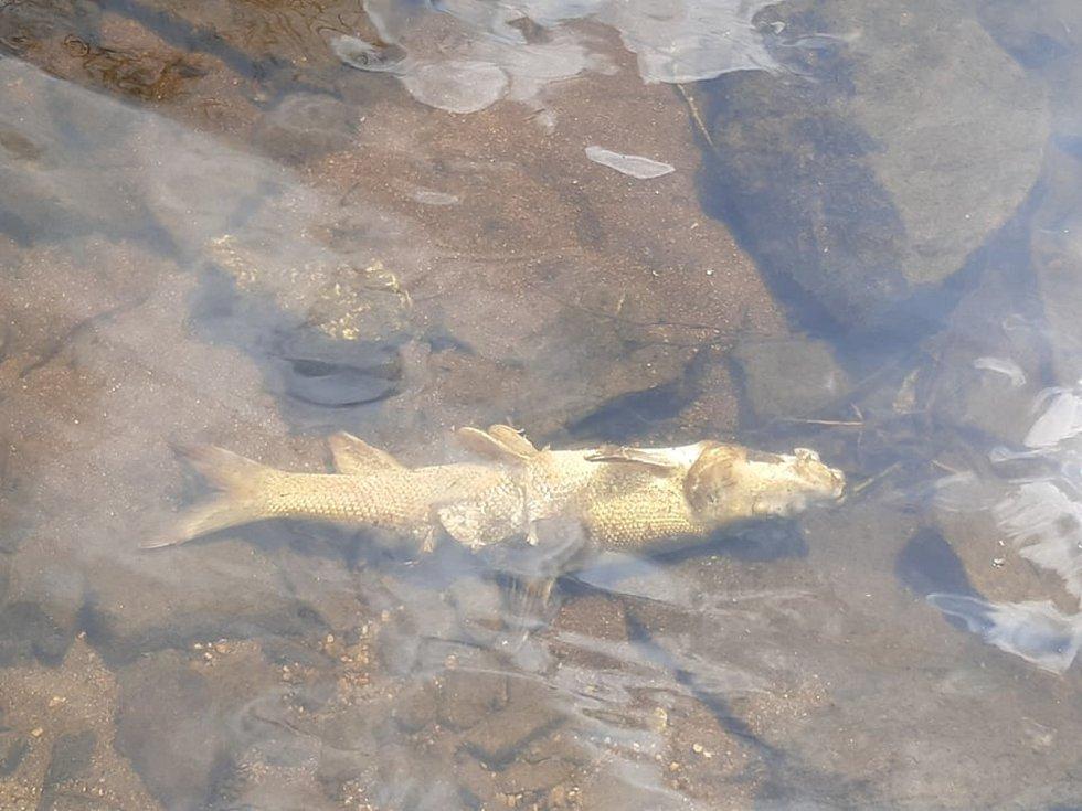 V Krumlově plavaly v řece mrtvé ryby.