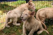 V ZOO Dvorce slaví narození tří bílých lvíčat.