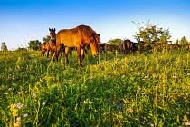 Projekt Česká krajina se v Milovicích zdárně rozvíjí. Na snímku divocí koně při pastvě.
