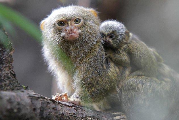 Mláďata v Zoo Ohrada. Kosmani zakrslí nosí potomky na zádech.