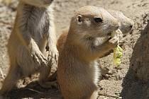 Mláďata v Zoo Ohrada. Psouni prérijní.