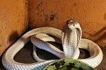 Kobra sufánská