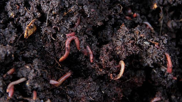 Na Sokolský ostrov vědci přivezou mobilní laboratoř. Poodhalí tajuplný svět půdy. Na snímku jsou žížaly ve vermikompostu.