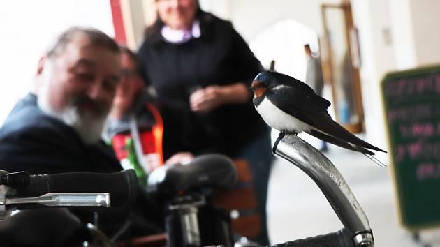 Unavená vlaštovka v České ulici odpočívá v loubí a sedí na řídítkách kola.