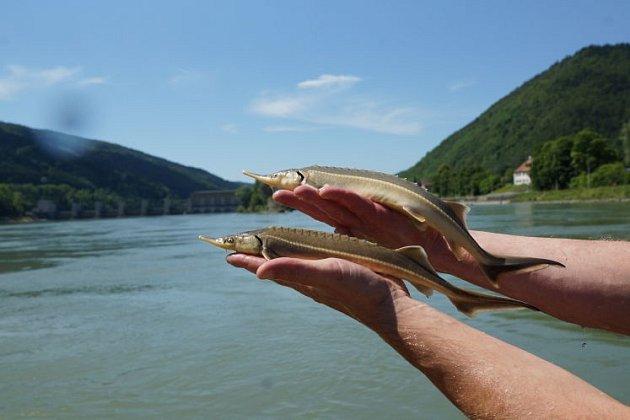 Asi dvouroční jeseteři z Dunaje.