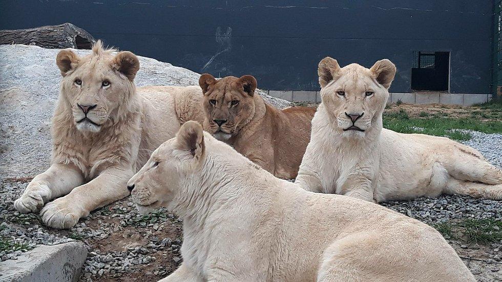Lvi slaví mezinárodní den