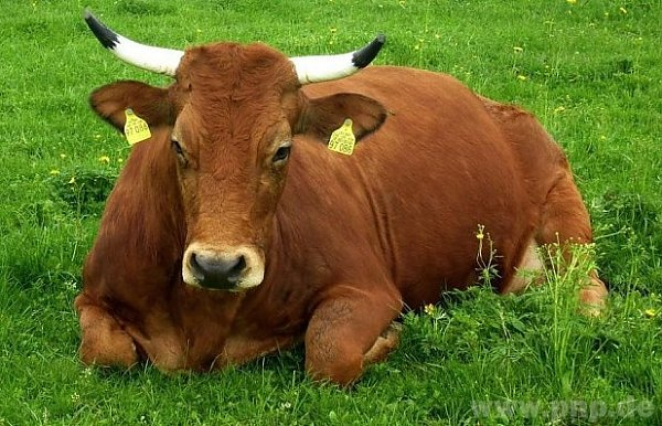 Nejhezčí kráva Bavorska dle diváků televize.