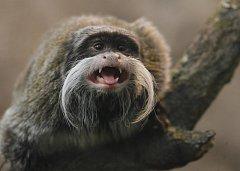 Tamarín vousatý (na snímku) je jedním ze tří druhů opic, které budou k vidění v pavilonu Matamata hlubocké zoo. Domov tu také najdou kosmani zakrslí a velice vzácní lvíčci zlatí.