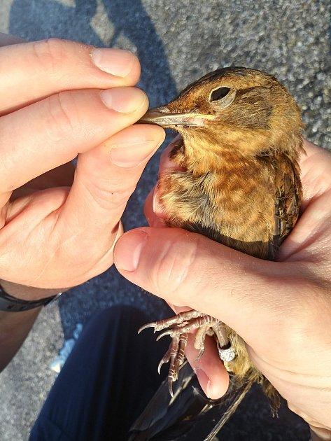 Fotografie zodběru vzorku krve kosa černého. Odběr ujednoho jedince trvá přibližně 2minuty, poté je pták opět vypuštěn.