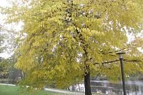 Listoví zůstává ve velkém množství na stromech. Na snímku je park blízko soutoku Malše a Vltavy v Českých Budějovicích.