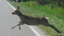 Pozor třeba na srnky, které skáčou před auto.