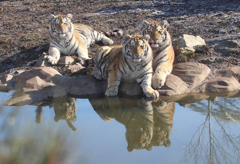 Tygřata, která se narodila Altaice a Oliverovi v květnu 2018.