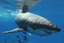 Až tři tuny váží žralok bílý, o němž vypráví jeden z filmů na festivalu Voda, moře, oceány. Ten začne 15. září v Hluboké nad Vltavou, jeho hlavní téma zní Voda a životní prostředí.