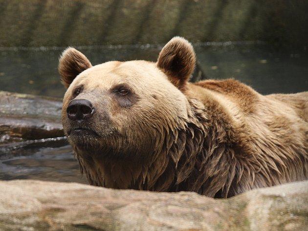 Nejen lidé si v posledních dnech libují na koupalištích. Osvěžení ve vodě včera přišlo vhod i medvědovi v hlubocké zoo.