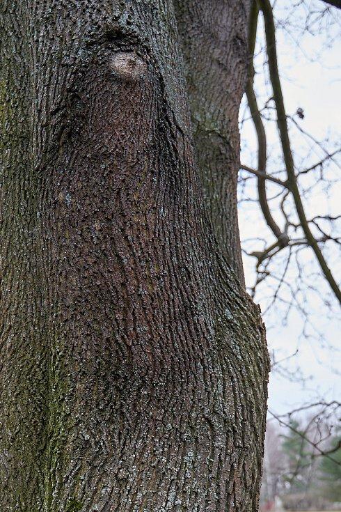 Duch stromový 6 - jednoooká vlasatice