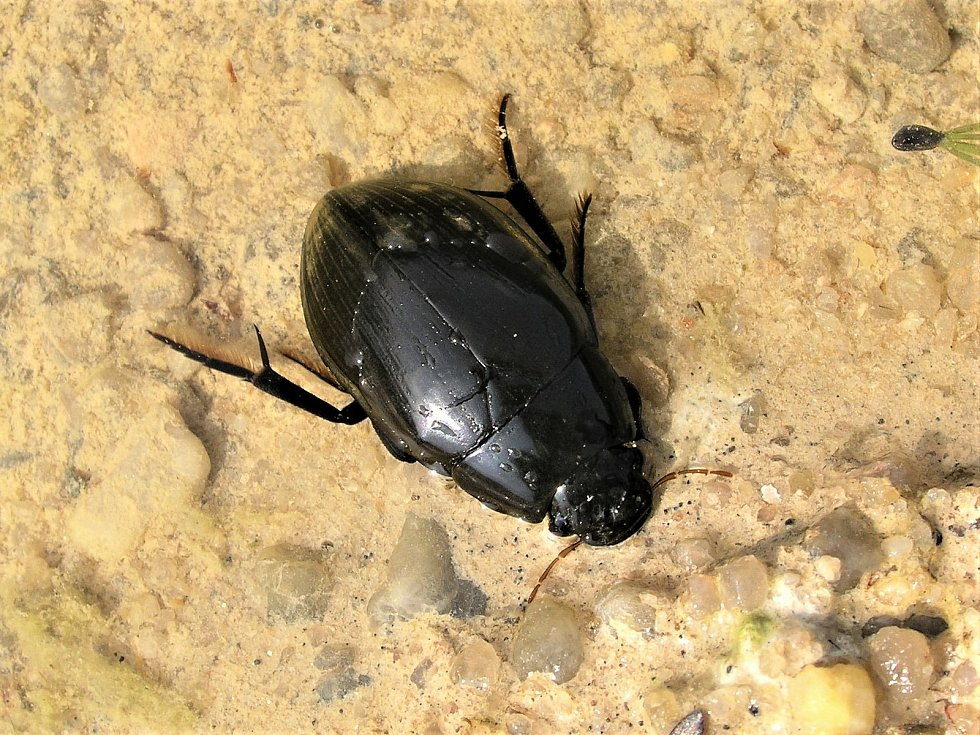 Vodomil temný preferuje zarostlé tůně, kde jeho larvy loví plže.