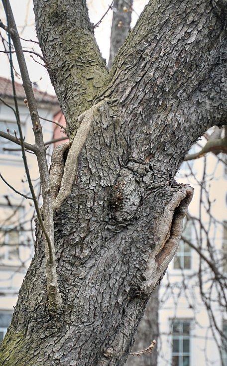Duch stromový 20 - naslouchač