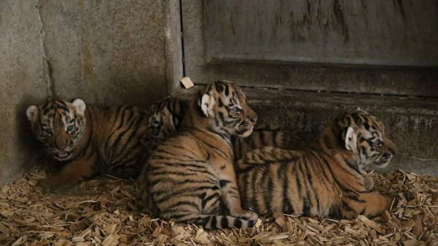Tygřata návštěvníci Jihočeské zoologické zahradyv Hluboké nad Vltavou poprvé uvidí pravděpodobně ve druhé polovině letních prázdnin.