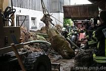 Hasiči zachránili krávu z jímky.