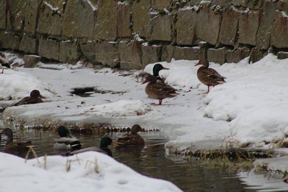 Ve středu ráno začalo v Ledenicích vybíjení desítek slepic a kachen. V malochovu Františka Titze testy prokázaly výskyt ptačí chřipky.