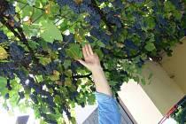 Českobudějovický majitel vinotéky a také amatérský vinař ukazuje, co všechno mu roste na zahradě. Jsou to hrozny, které pocházejí z mnoha evropských zemí.